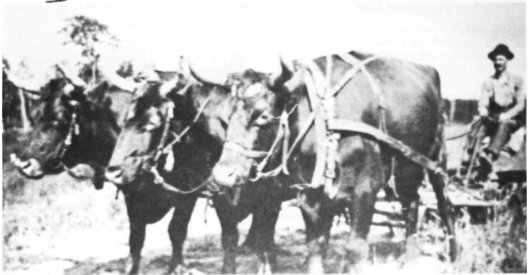Man on plow pulled by team of oxen