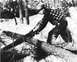 Logger sawing tree